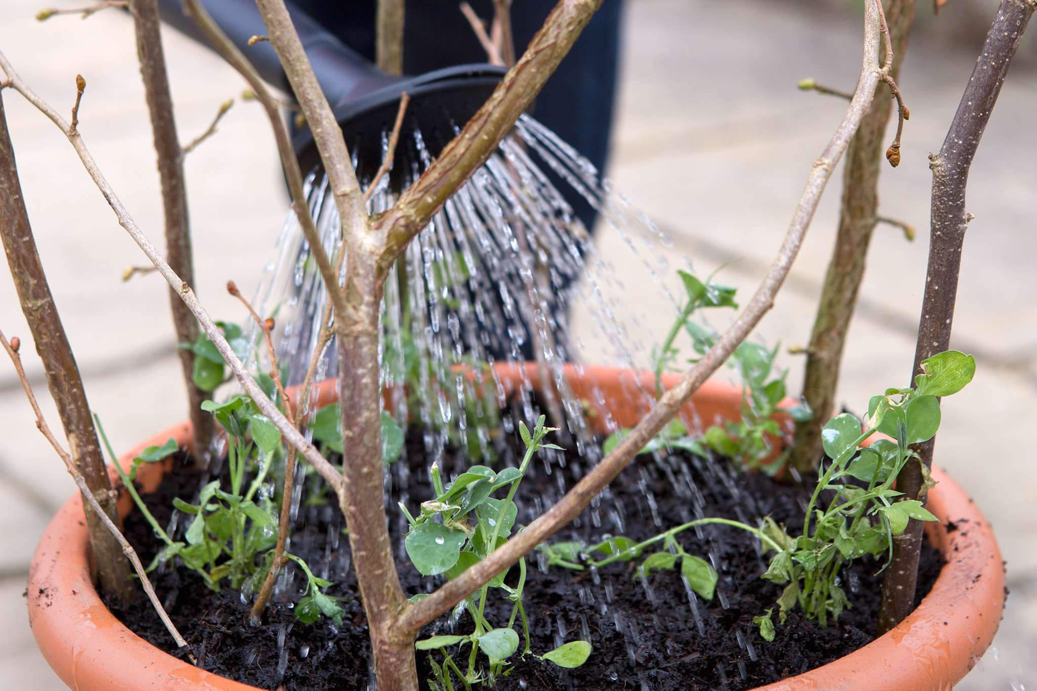 feed-and-water-newly-planted-sweet-pea-plugs-2