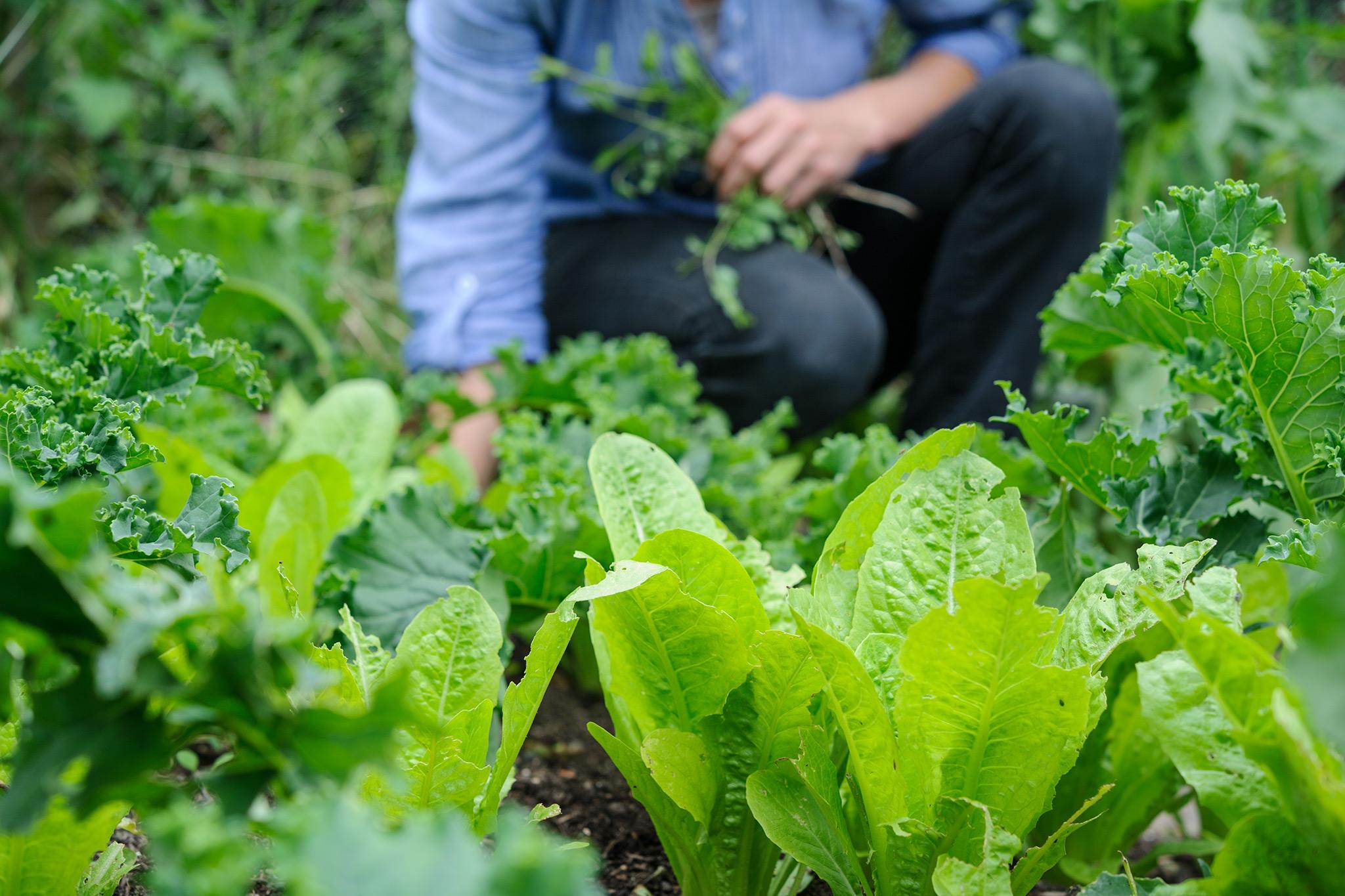 harvesting-lettuce-leaves-2