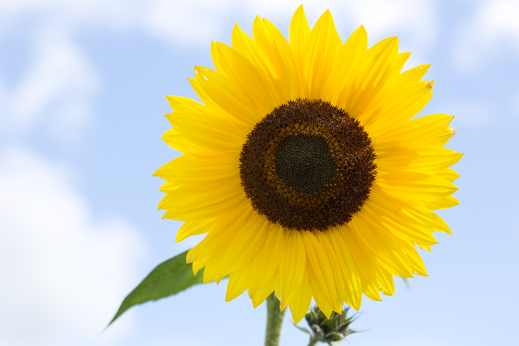sunflower-russian-giant-3