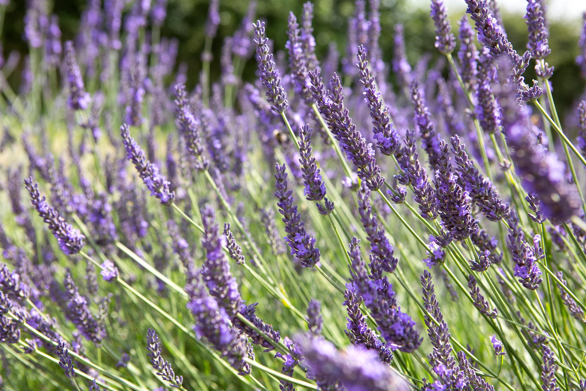 lavender-14
