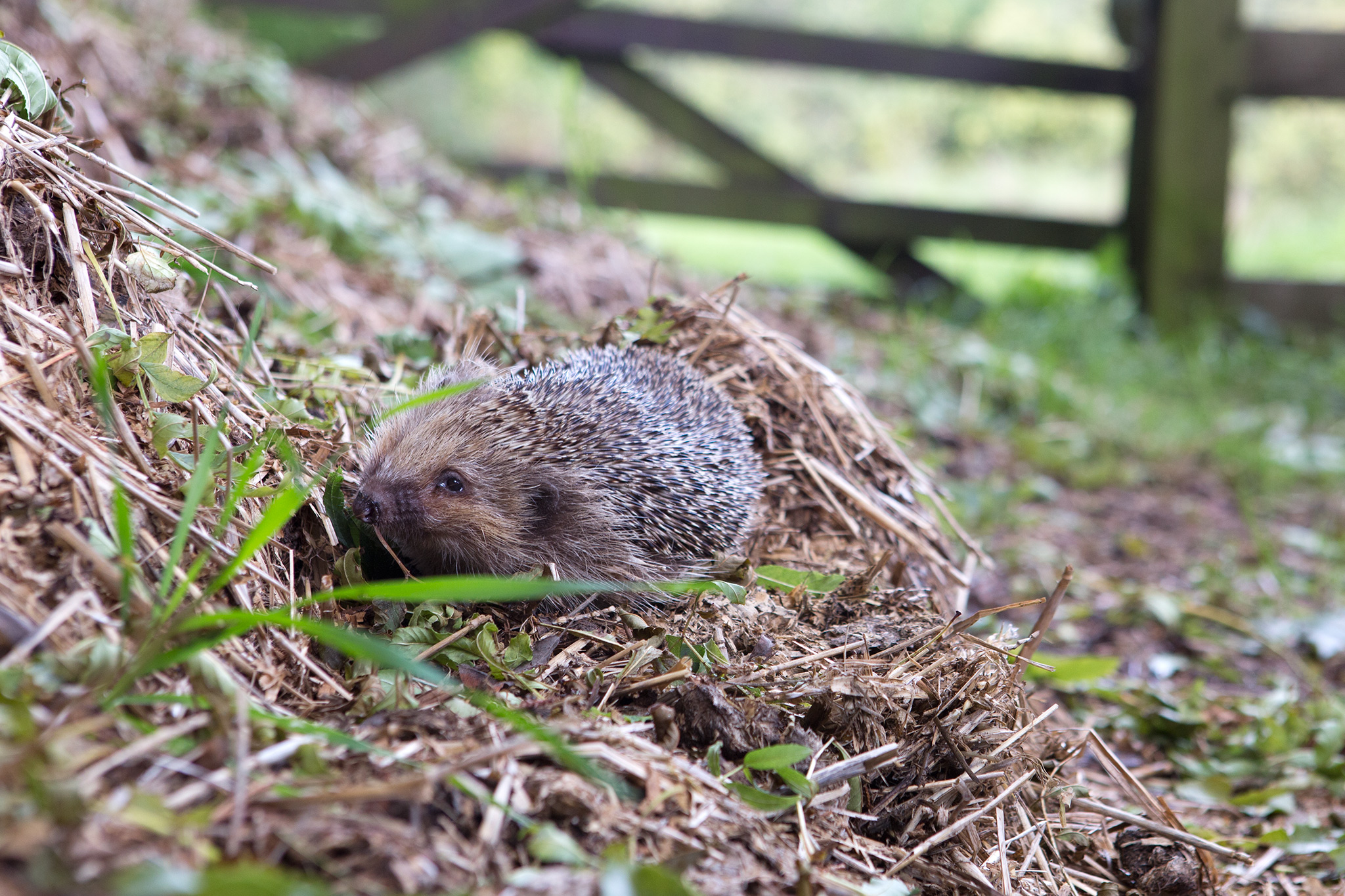 avoid-turning-the-compost-heap-to-avoid-disturbing-hibernating-hedgehogs-2