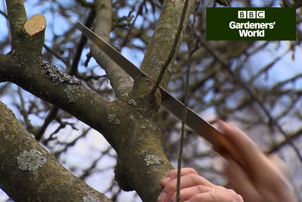 How to winter prune apple trees video