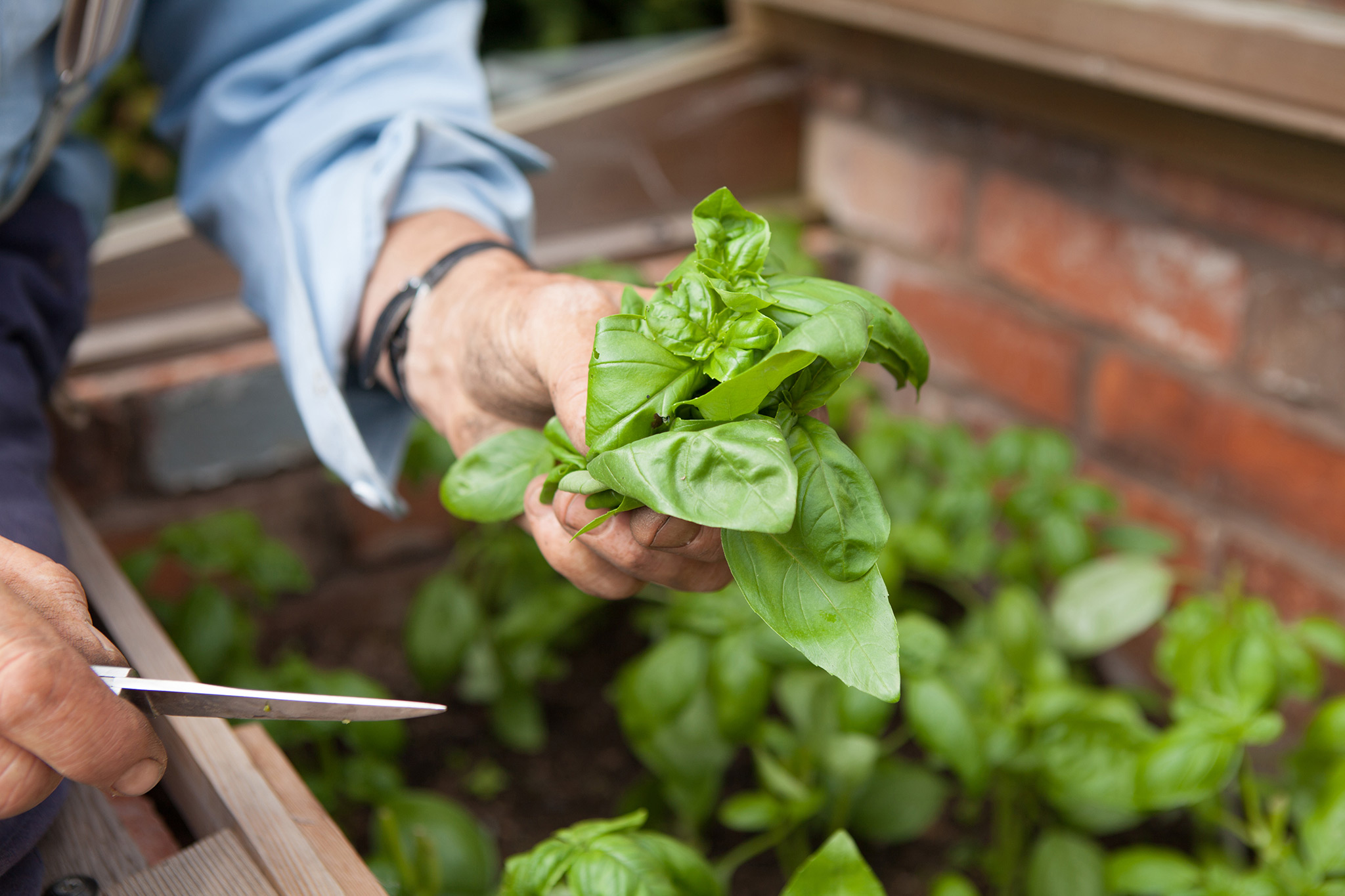 harvesting-basil-leaves-2