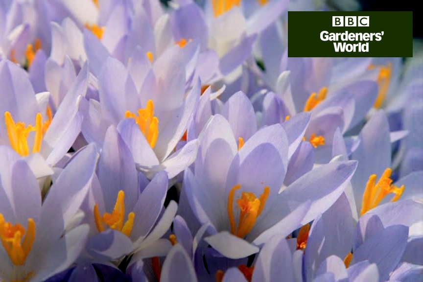 How to plant crocuses in borders video
