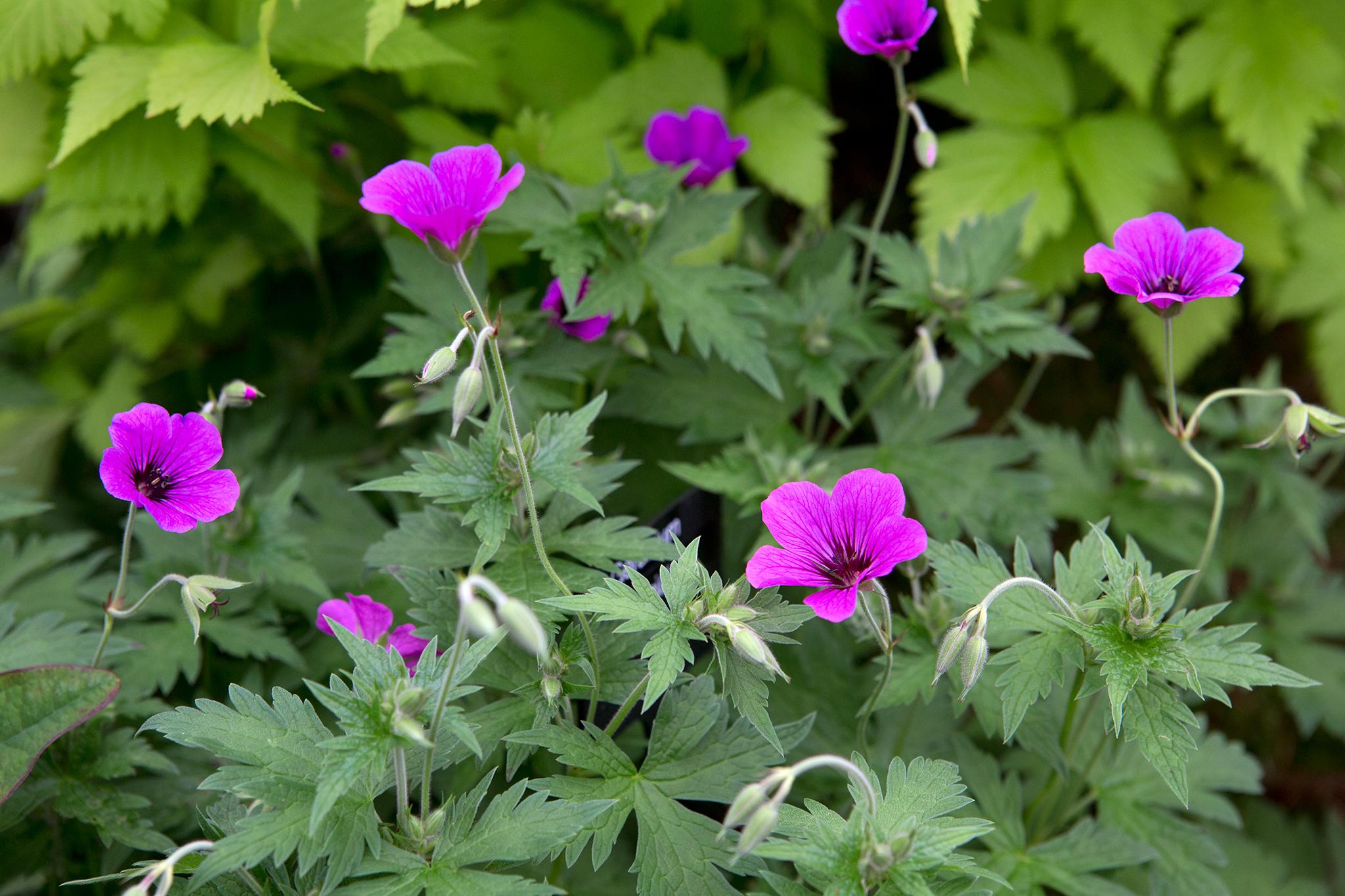 geranium-patricia-2