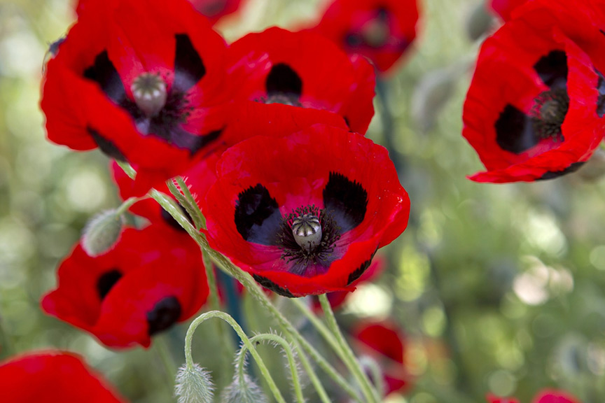 Can poppies be transplanted