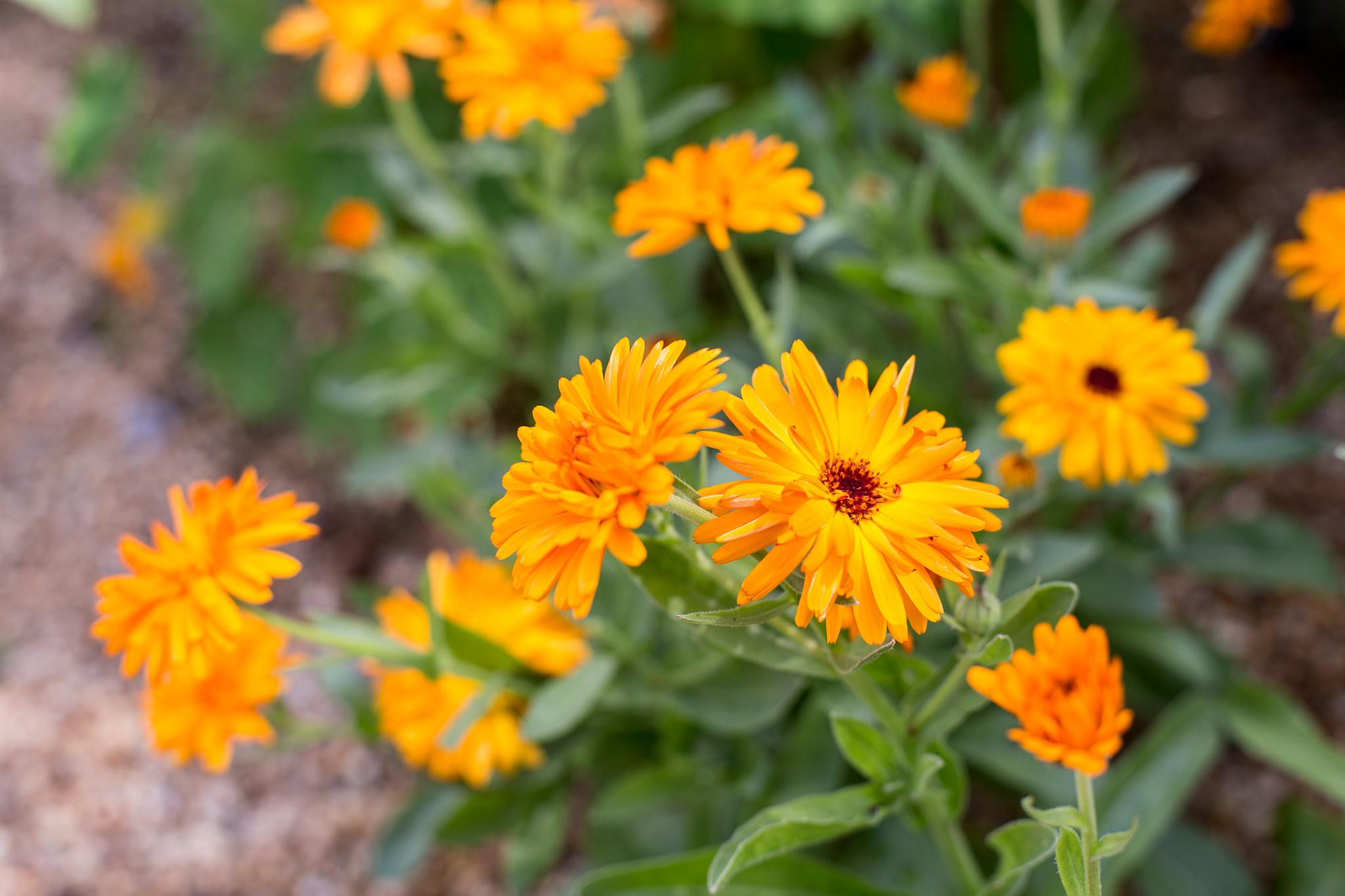 calendula-officinalis-english-marigold-2