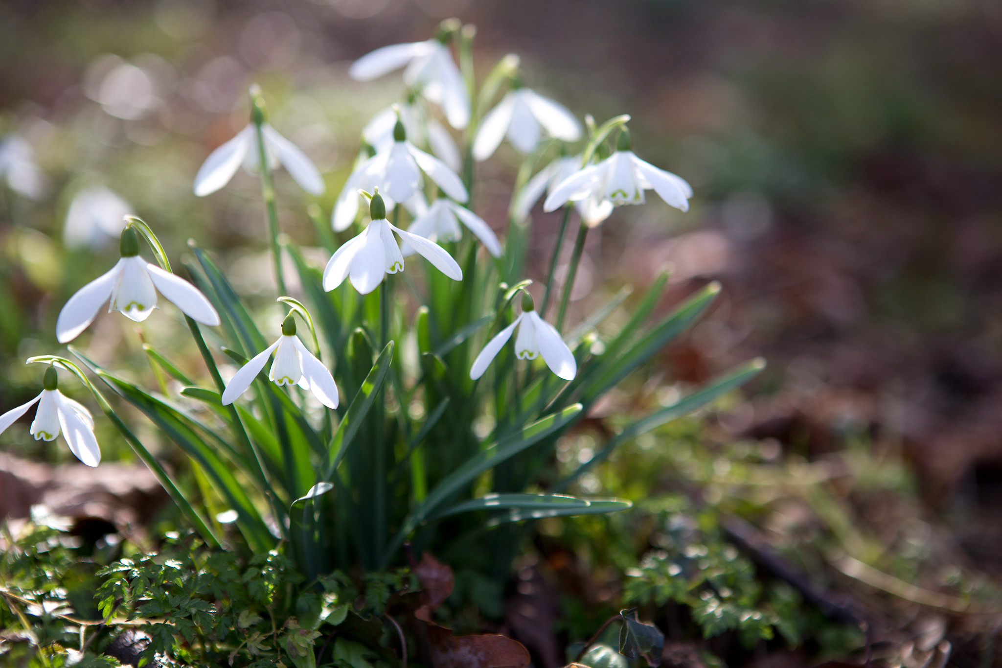 Planting snowdrops 'in the green'
