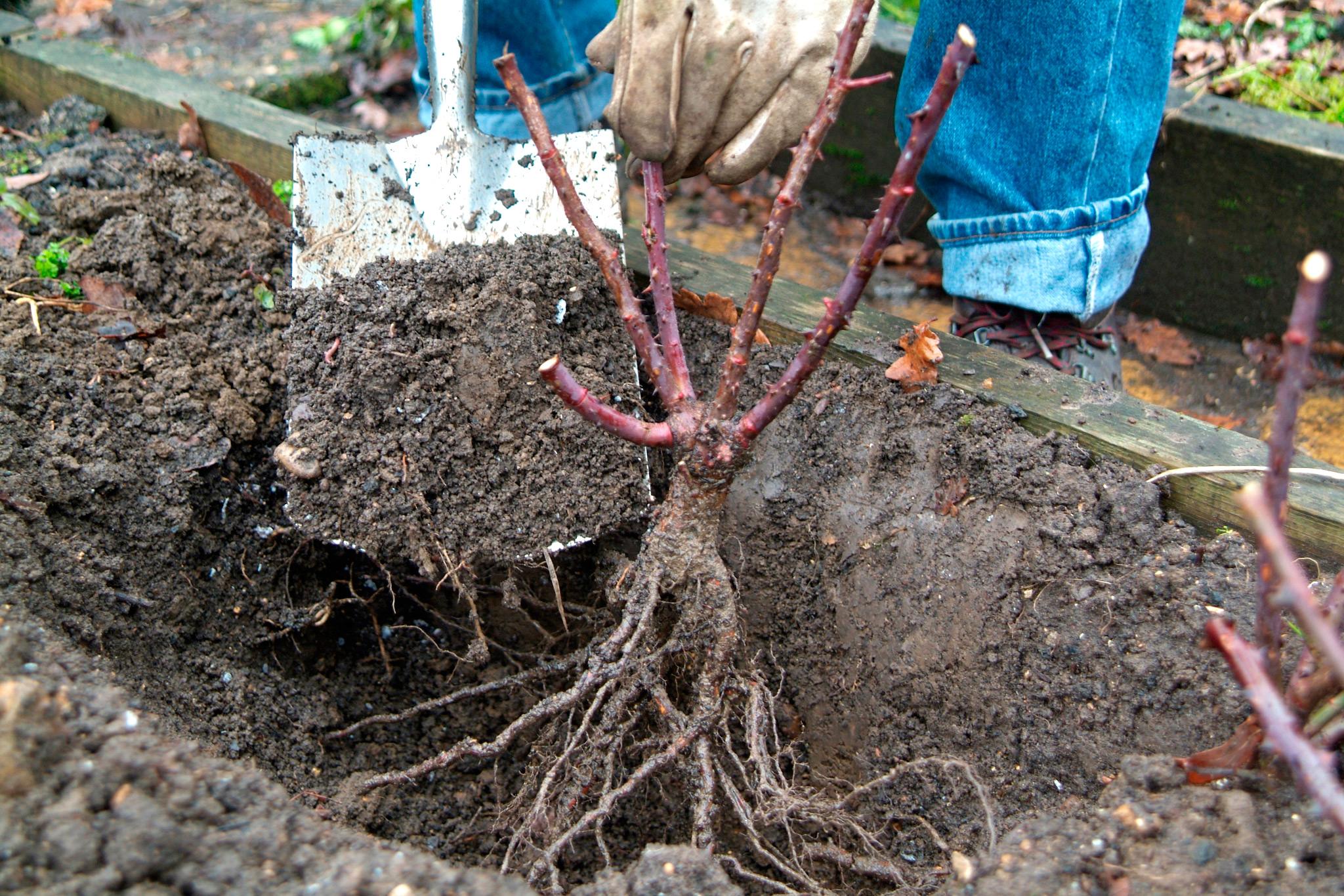 planting-a-bareroot-rose-bush-2