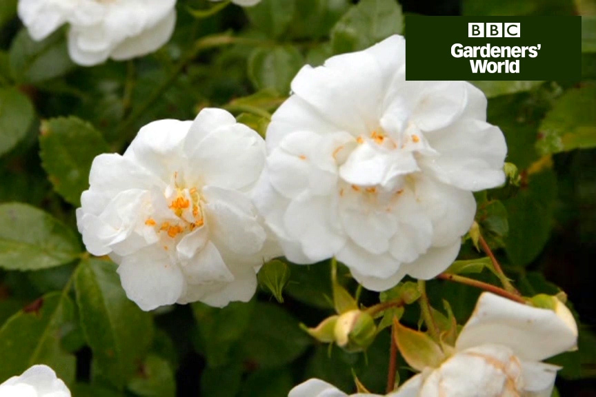 How to grow a rambler rose up into a tree video