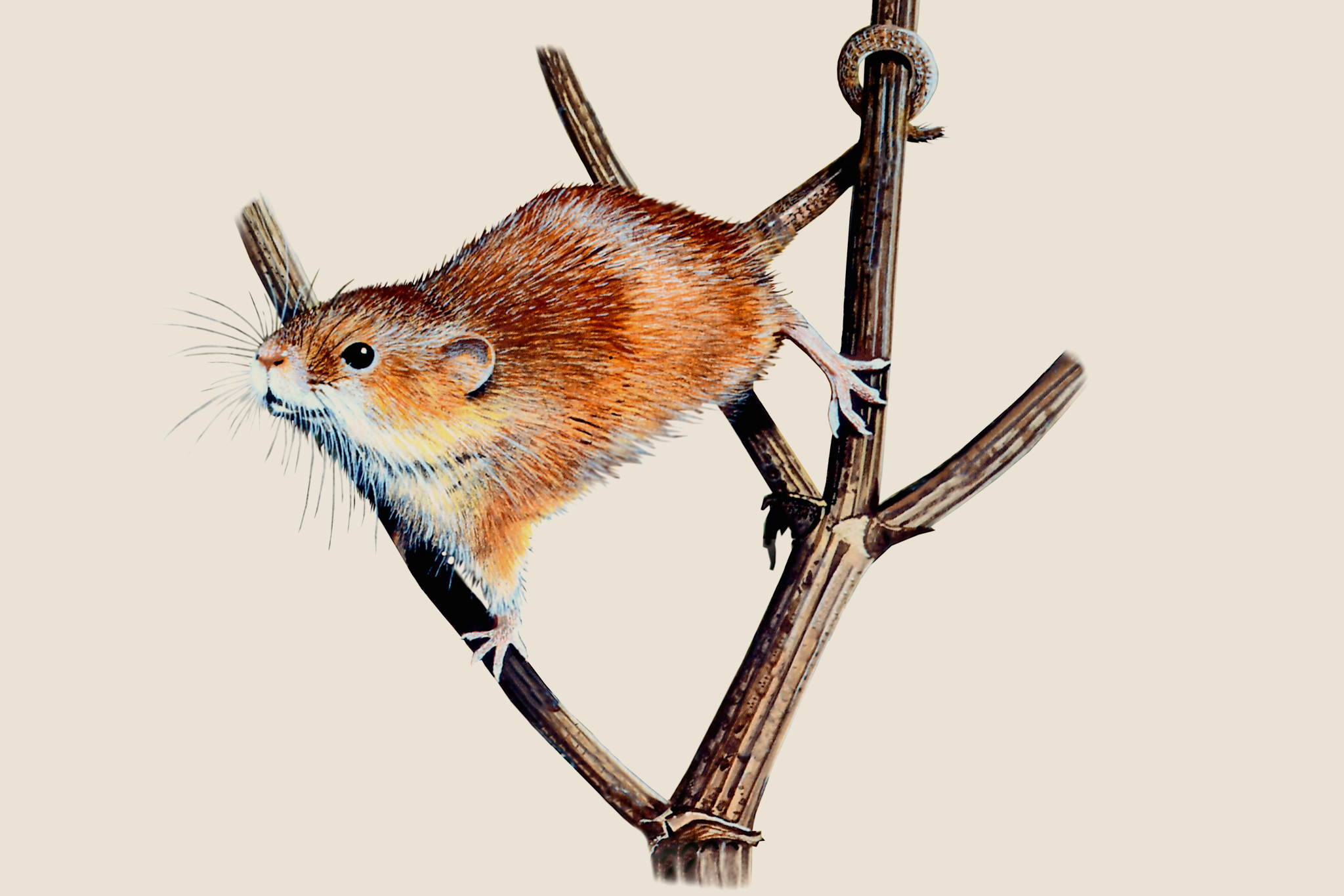 harvest-mouse-3