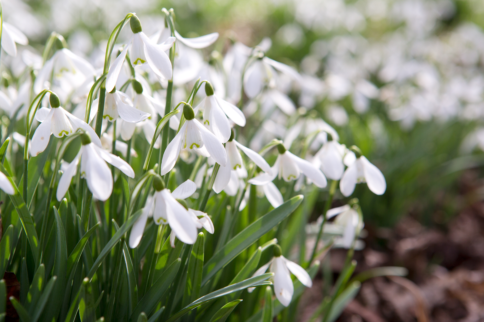 When snowdrops bloom 40