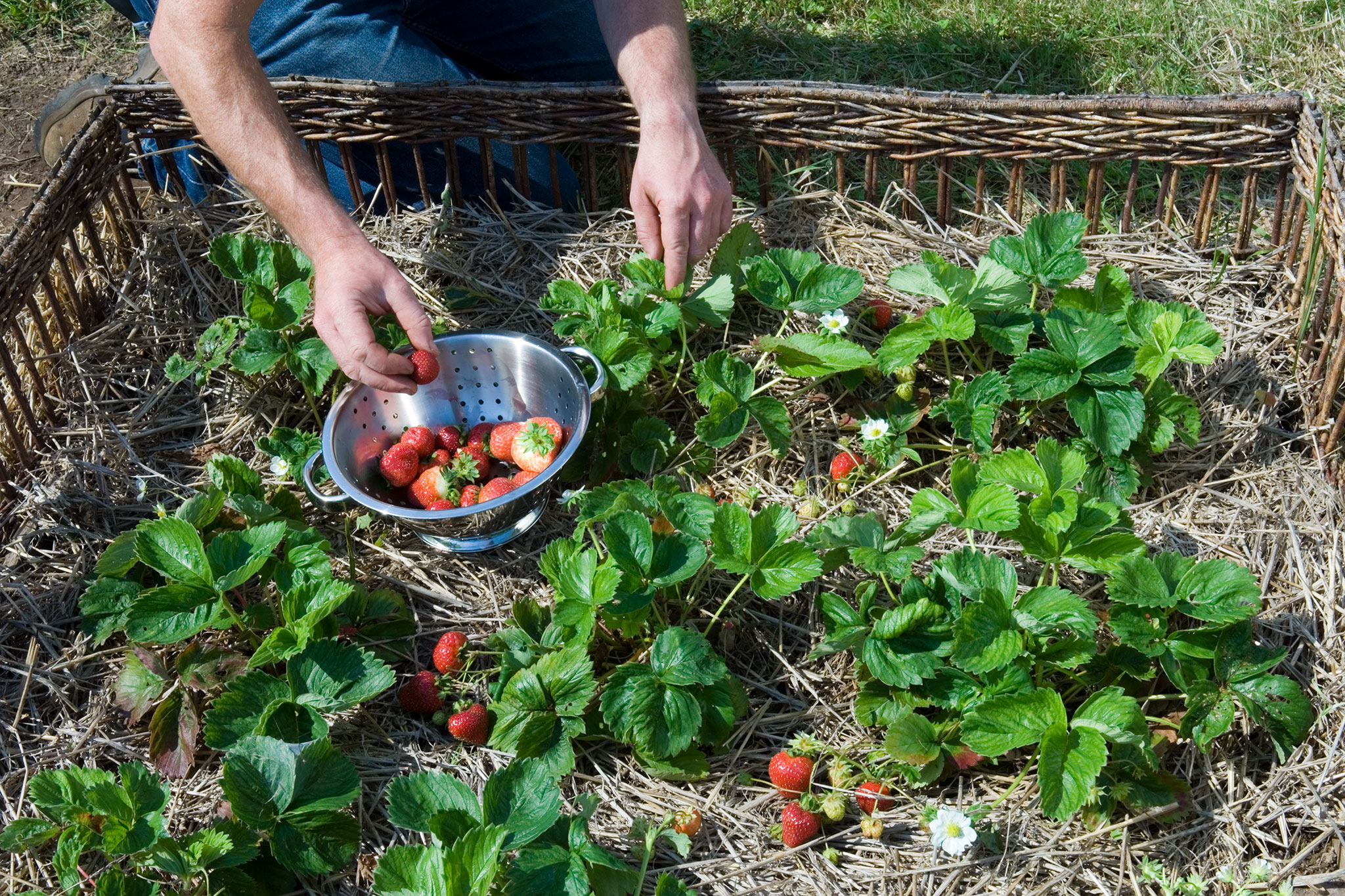How to make a strawberry bed