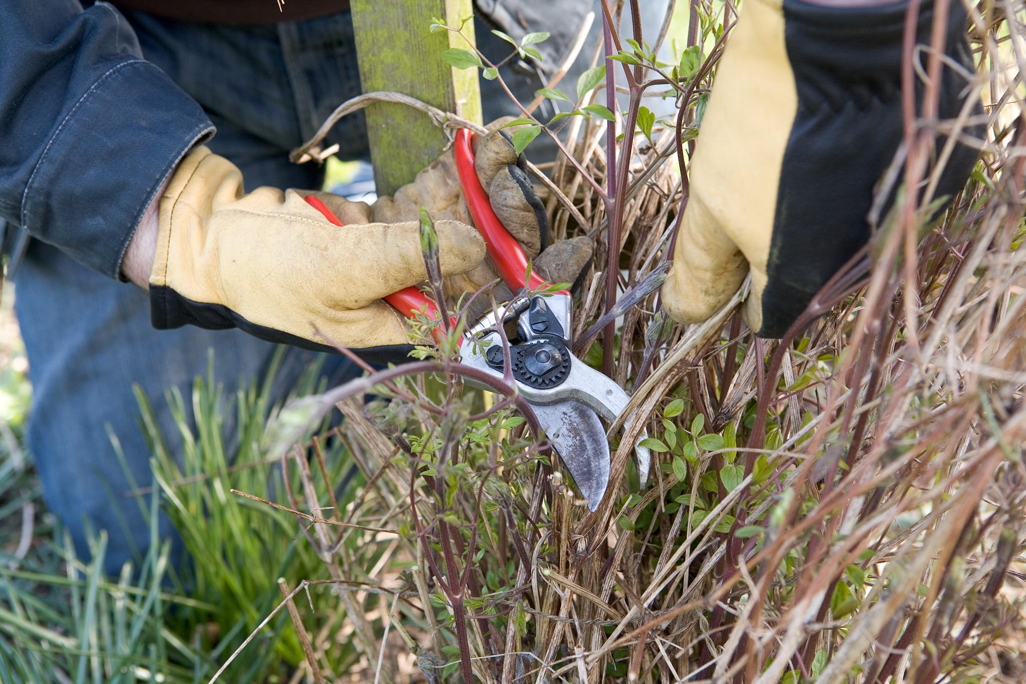 pruning-clematis-in-spring-2