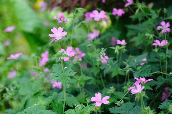 geranium-x-oxonianum-wargrave-pink-8
