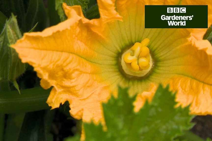 How to harvest courgettes video
