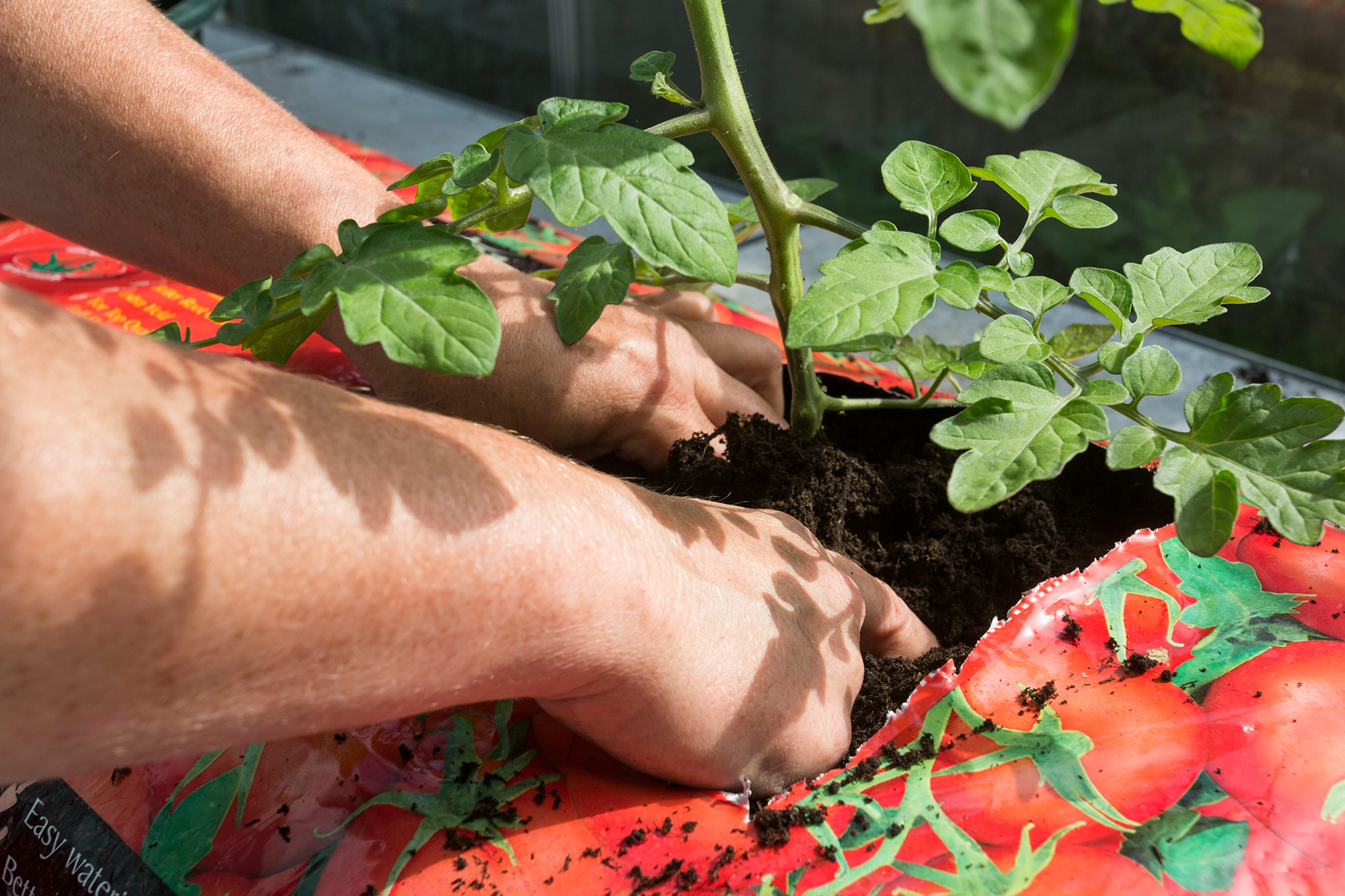 planting-a-tomato-plant-into-the-growing-bag-2