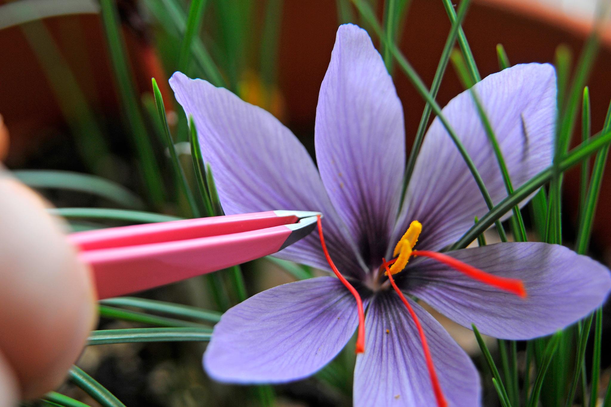 Crocus Sativus Seeds