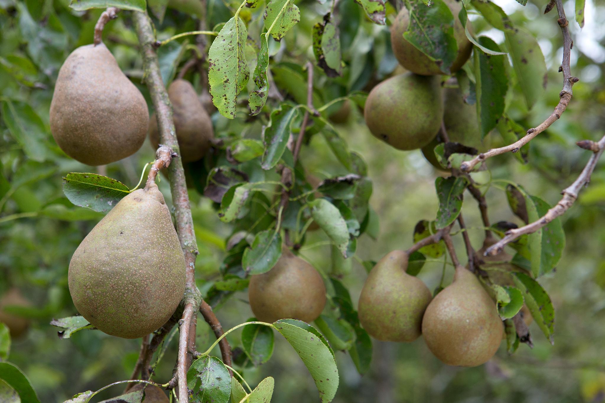 pears-3