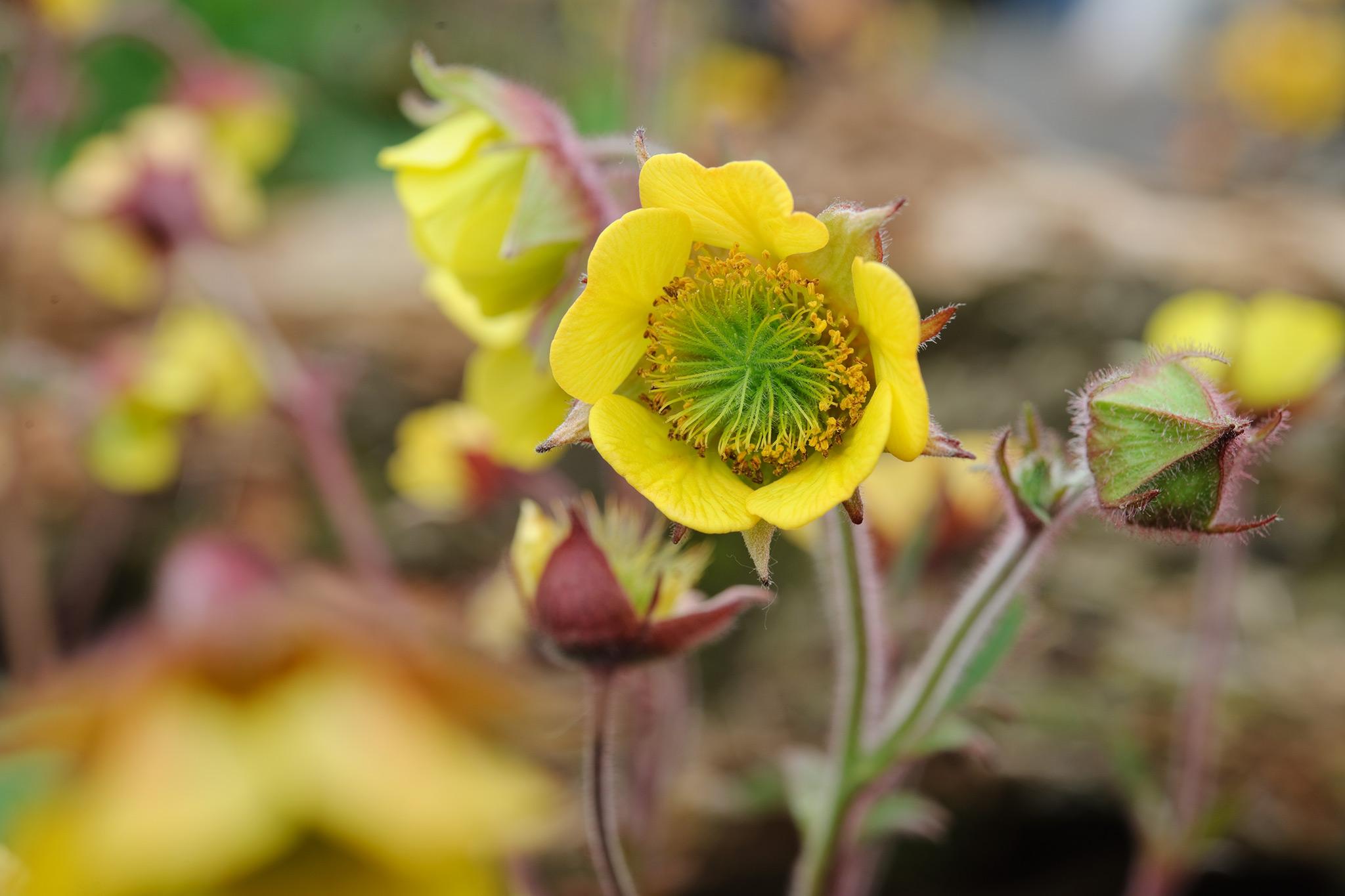 yellow-geums-3
