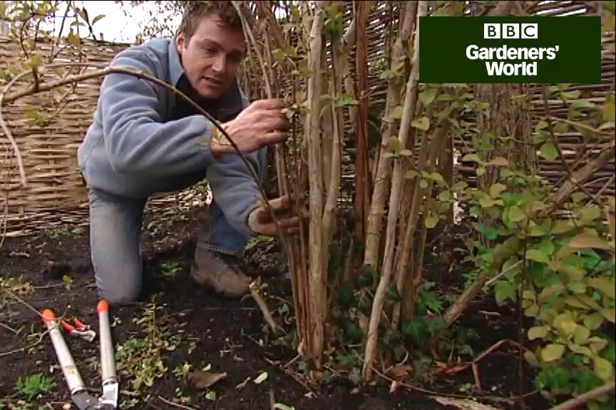How to prune viburnums video