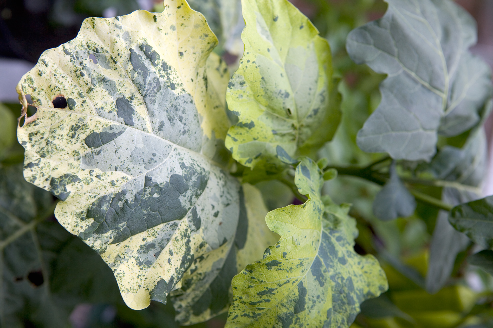 damage-to-leaves-viruses-2