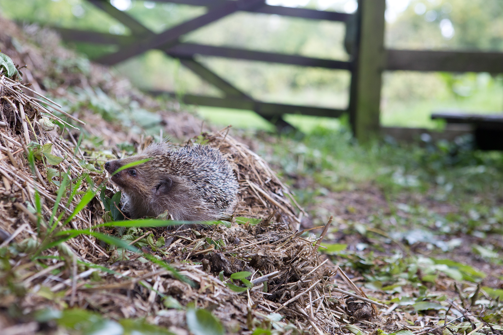 hedgehog-and-compost-heap-6