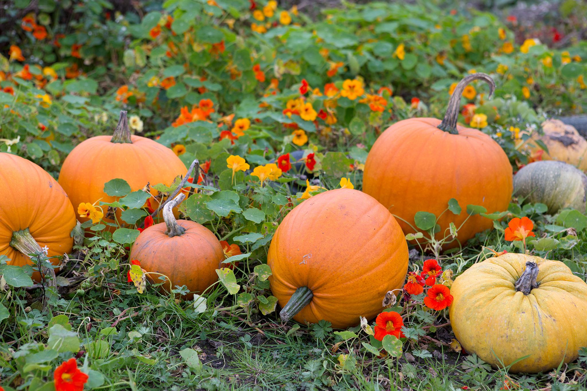 pumpkins-8