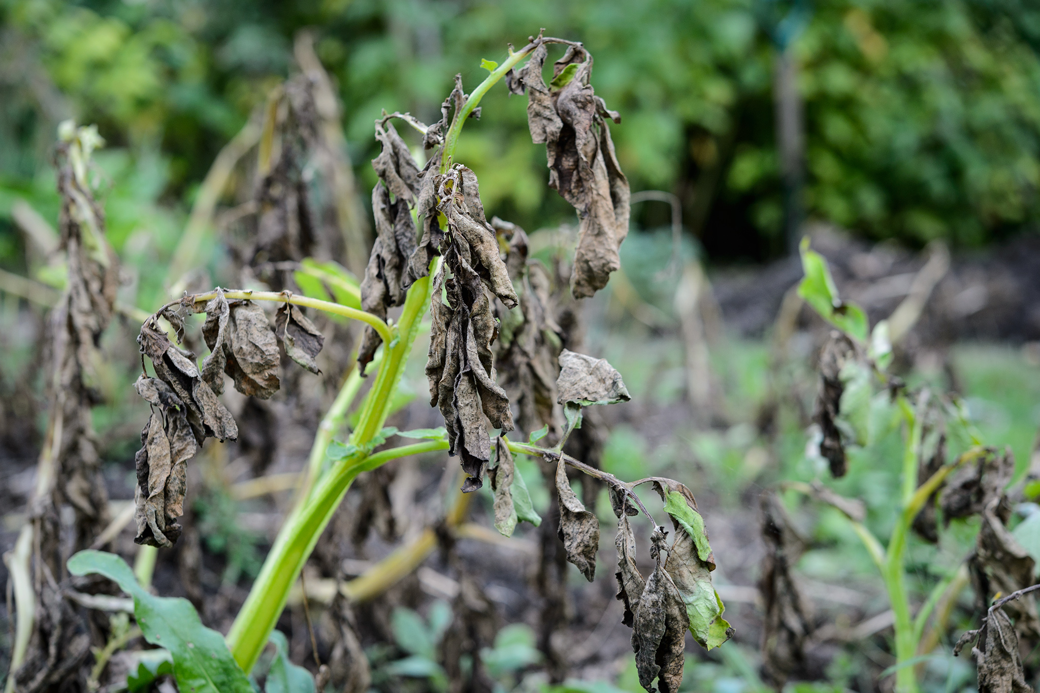 signs-of-potato-blight-2