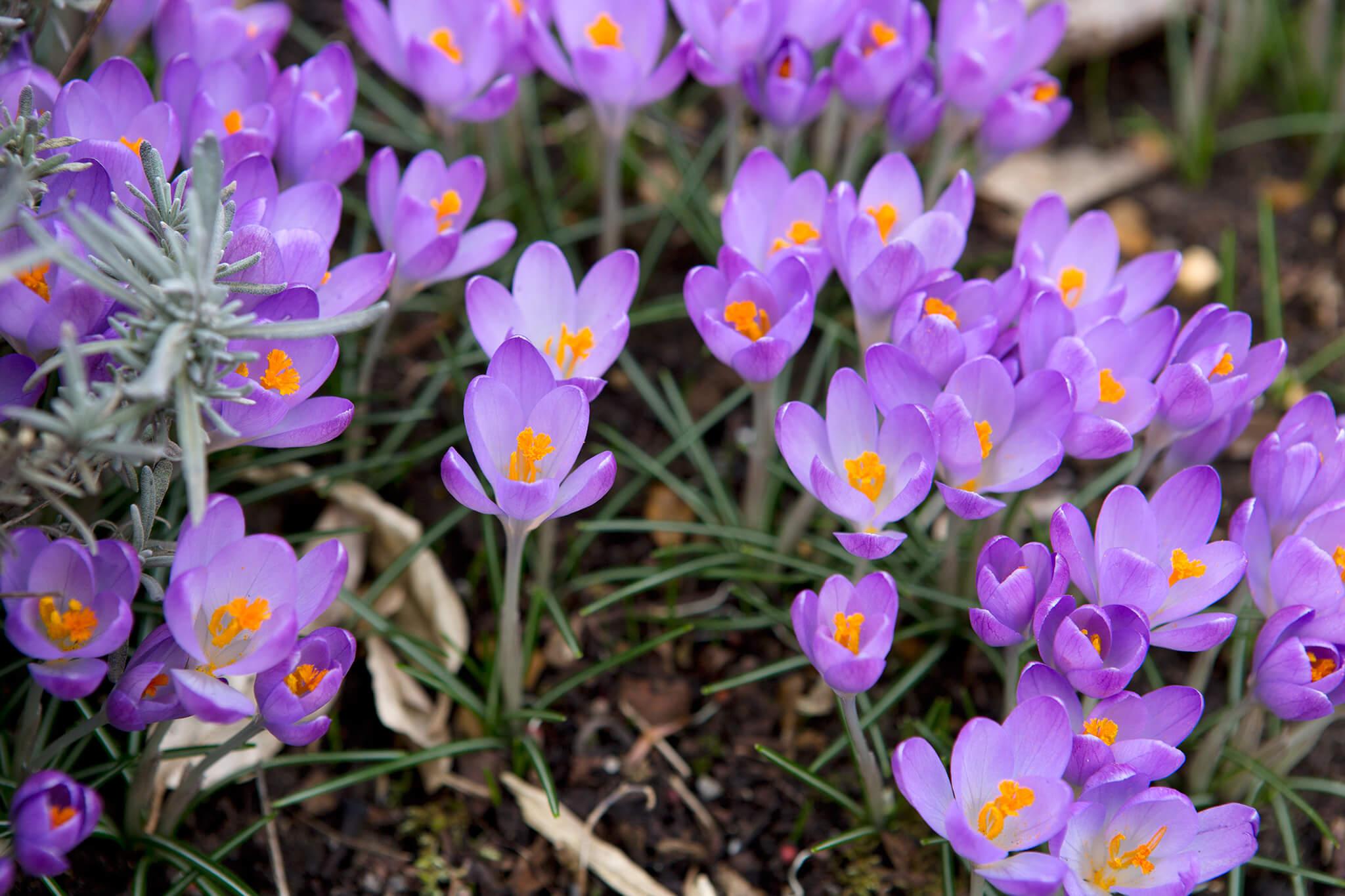 crocus-flowers-2