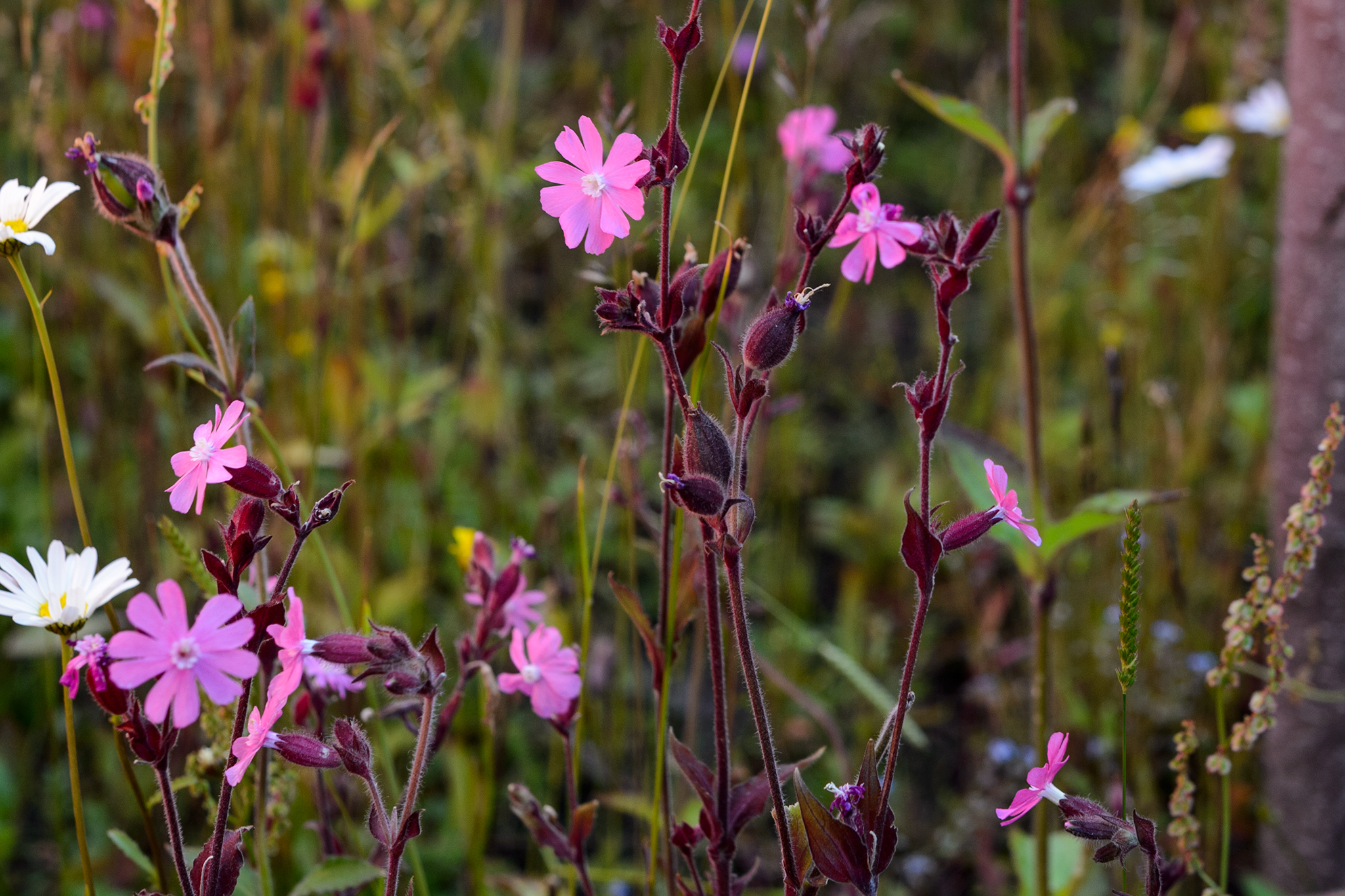 red-campion-silene-dioica-4