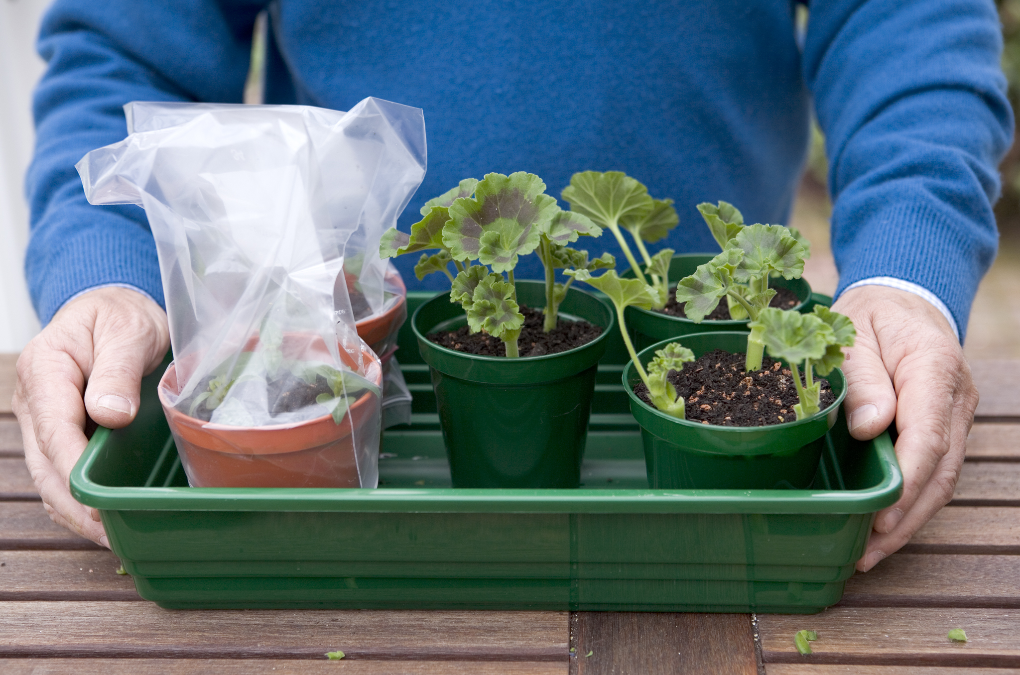 Geranium cuttings