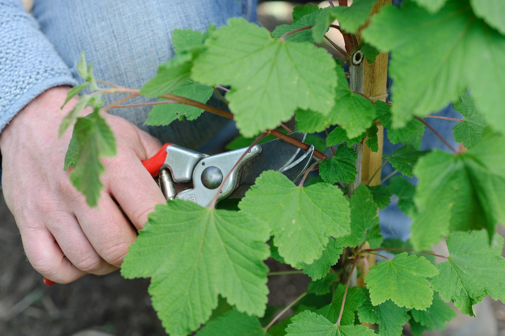 cutting-back-new-growth-on-currant-bush-2