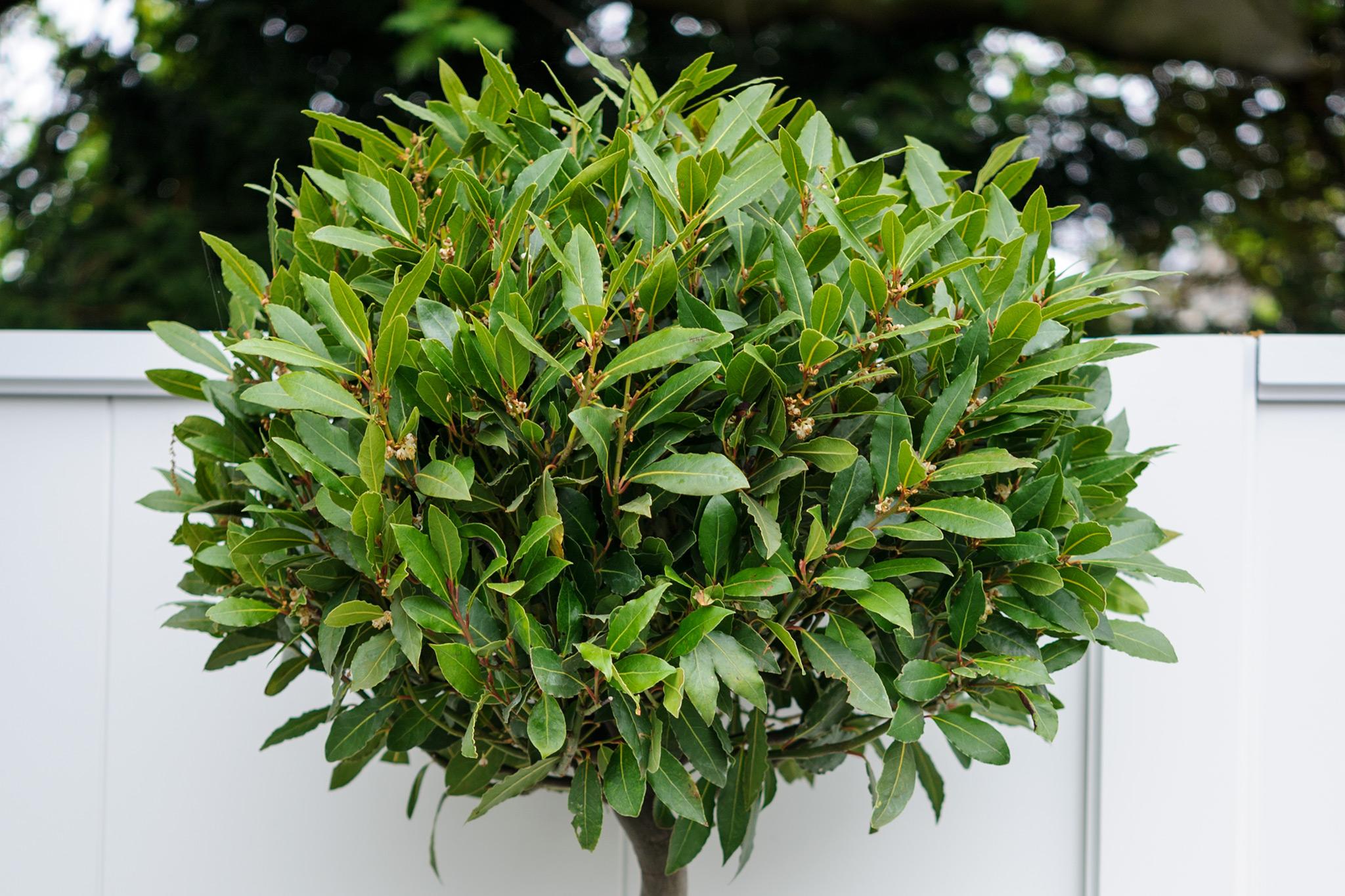 topiarised-bay-tree-2
