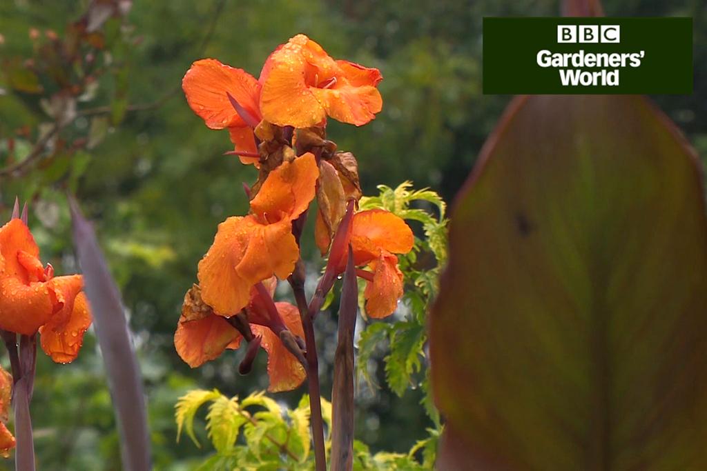 Orange canna flowers
