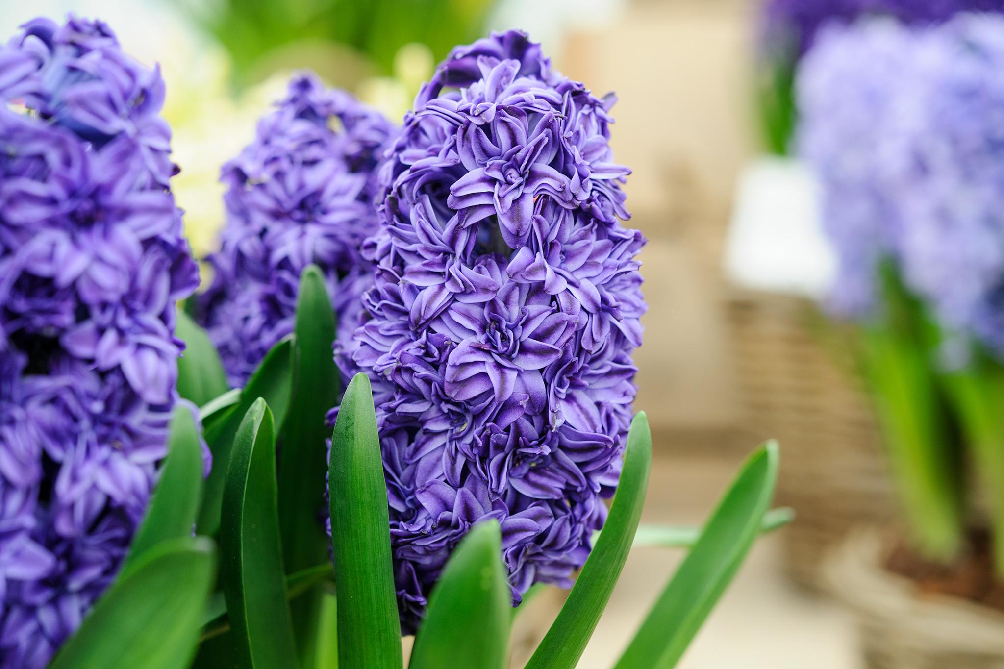 hyacinth-2