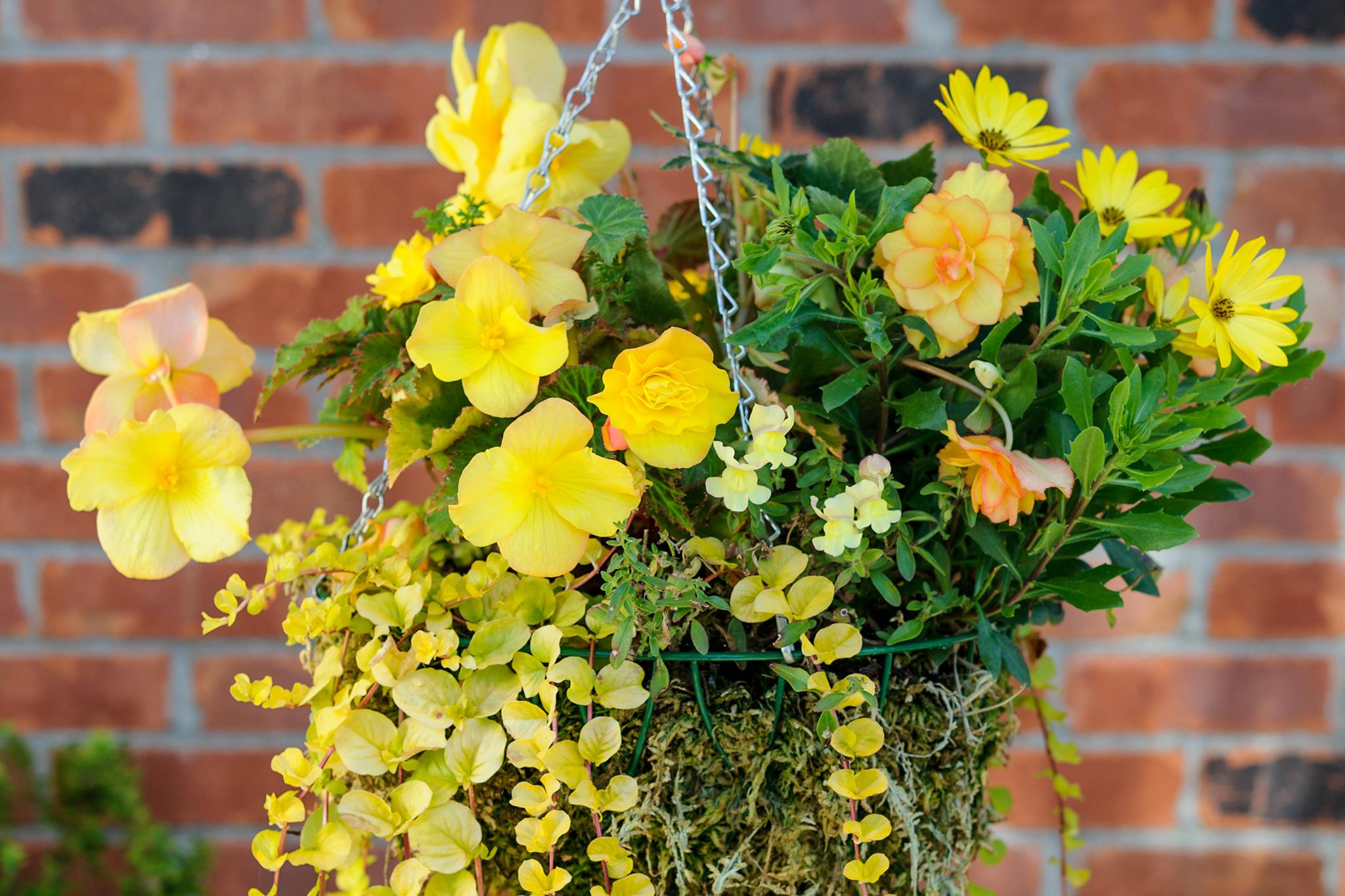 begonia-and-osteospermum-hanging-basket-3