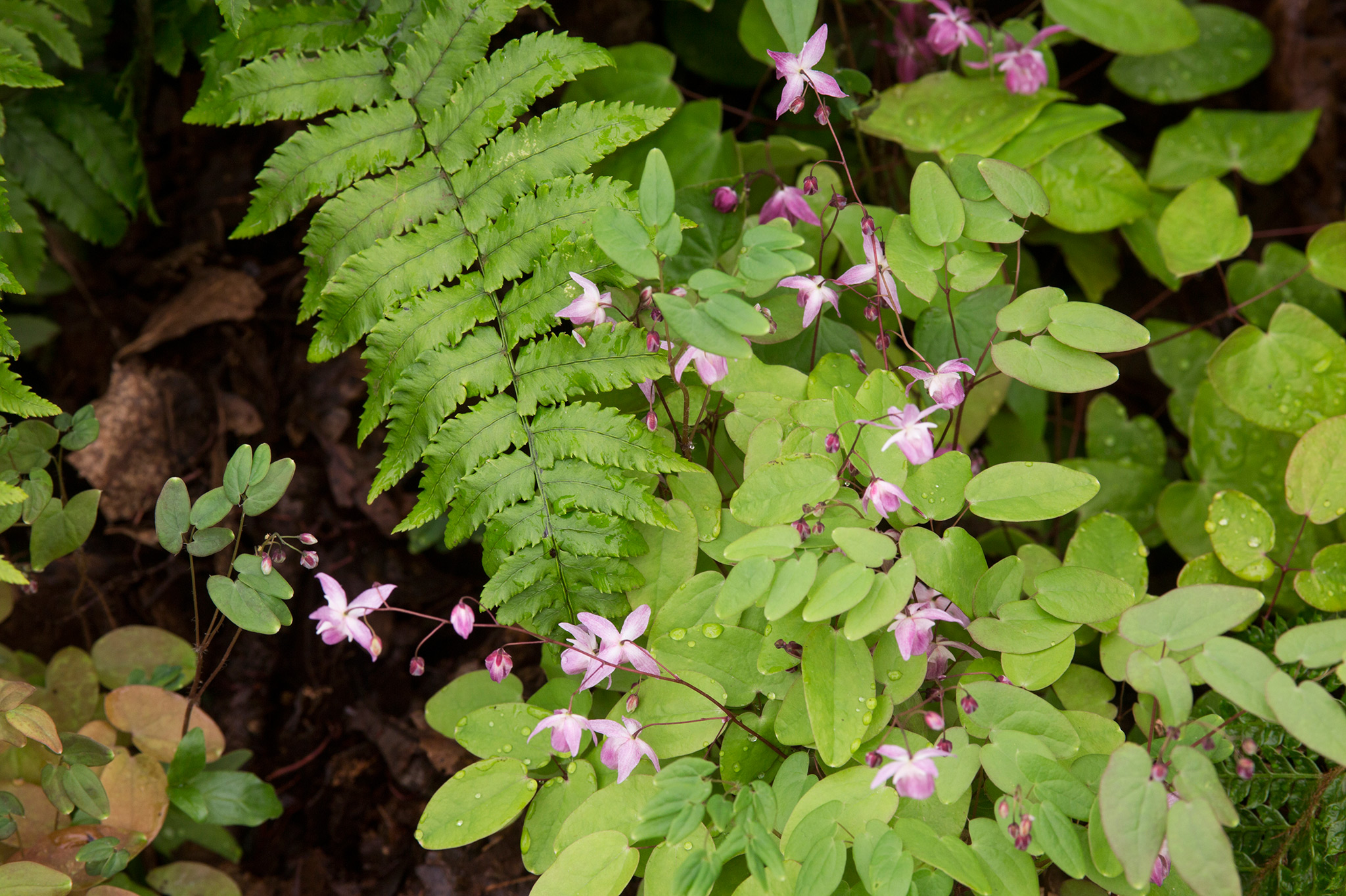combination-of-barrenwort-epimedium-niveum-roseum-and-dryopteris-cycadina-2