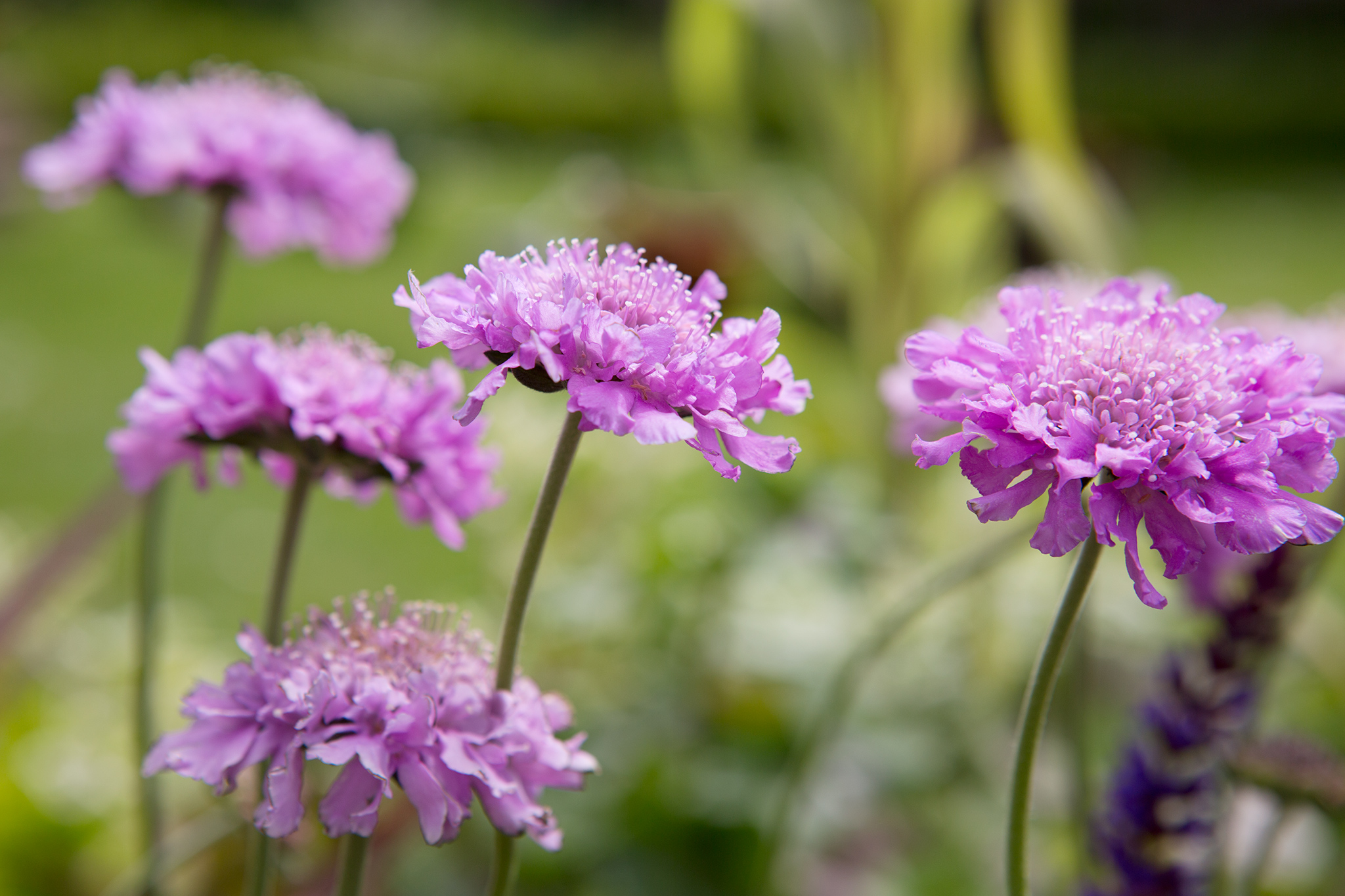scabiosa-columbaria-pink-mist-in-flower-2