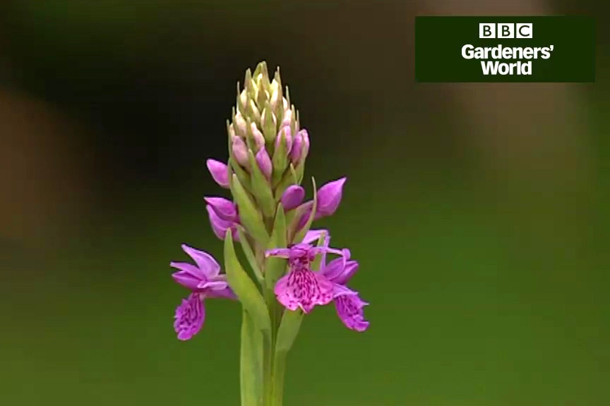 How to grow marsh orchids video