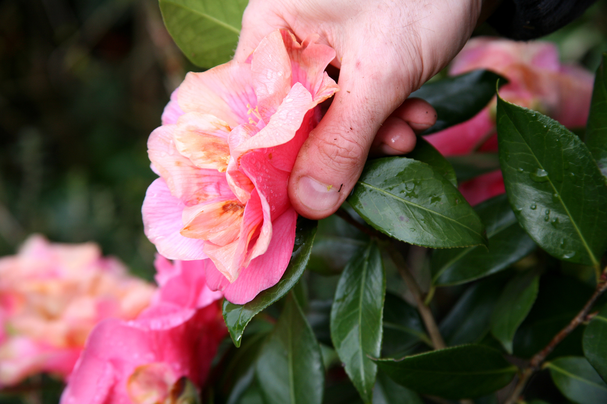 deadheading-camellias-2
