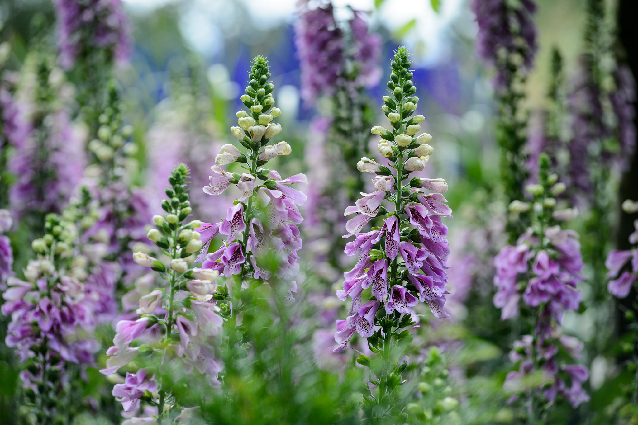 Digitalis 'Serendipity'