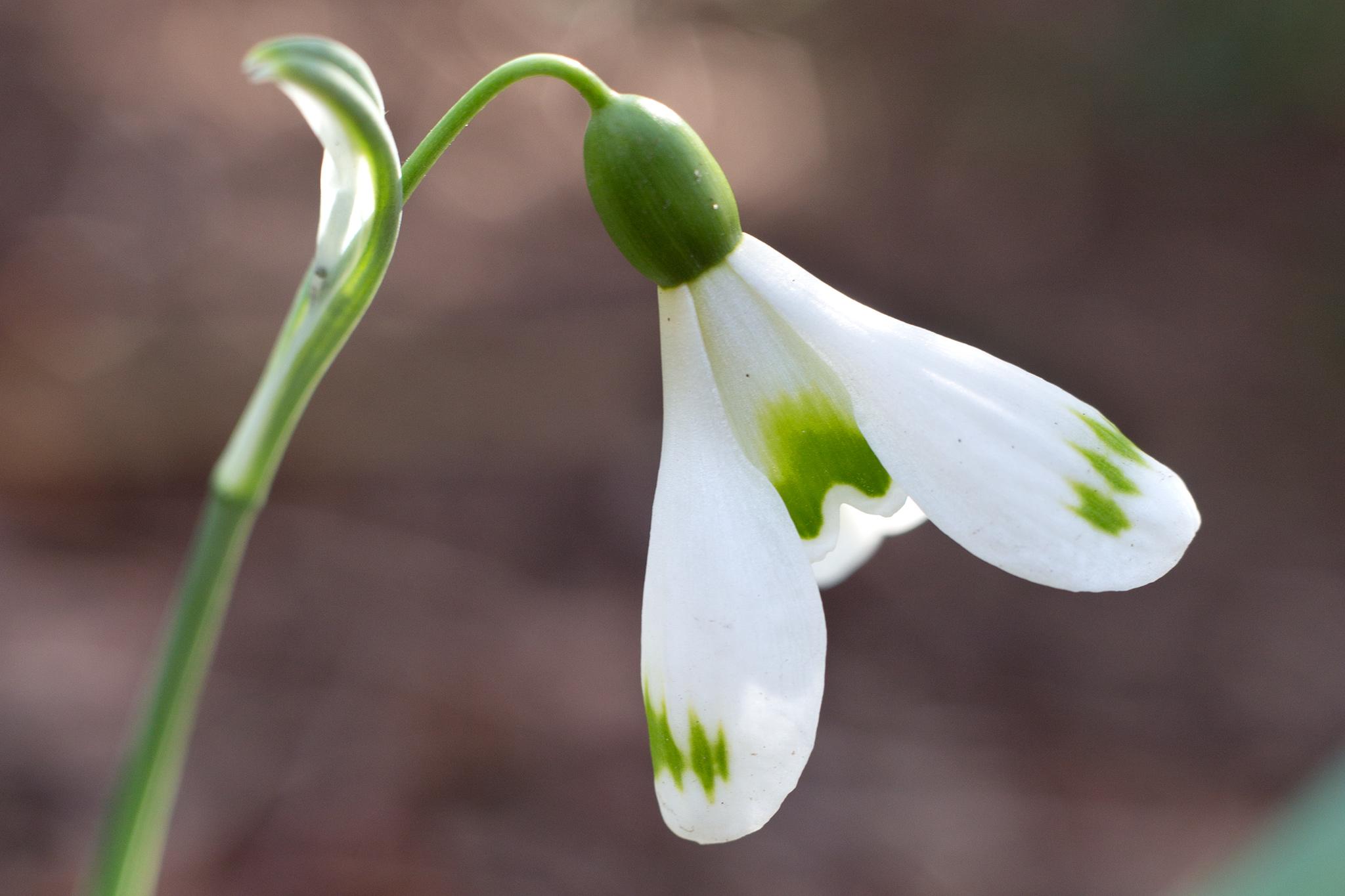 galanthus-plicatus-trymming-3