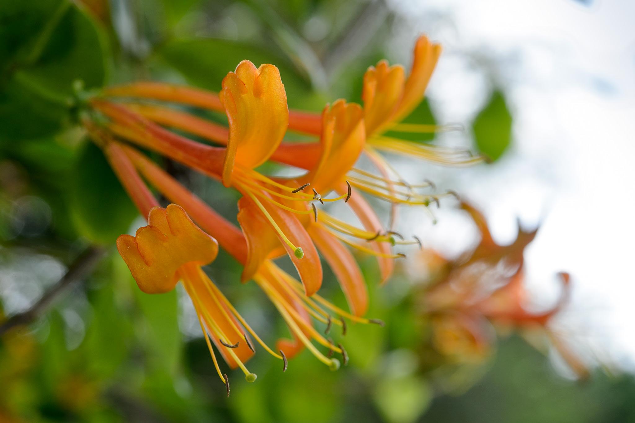 lonicera-mandarin-2