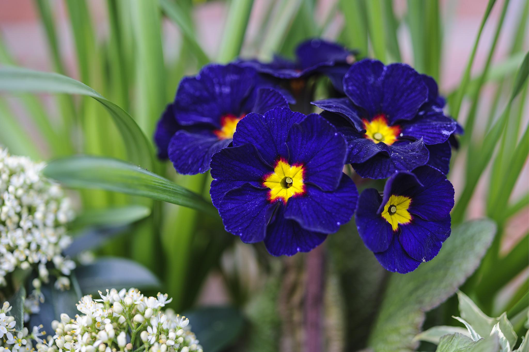 polyanthus-3