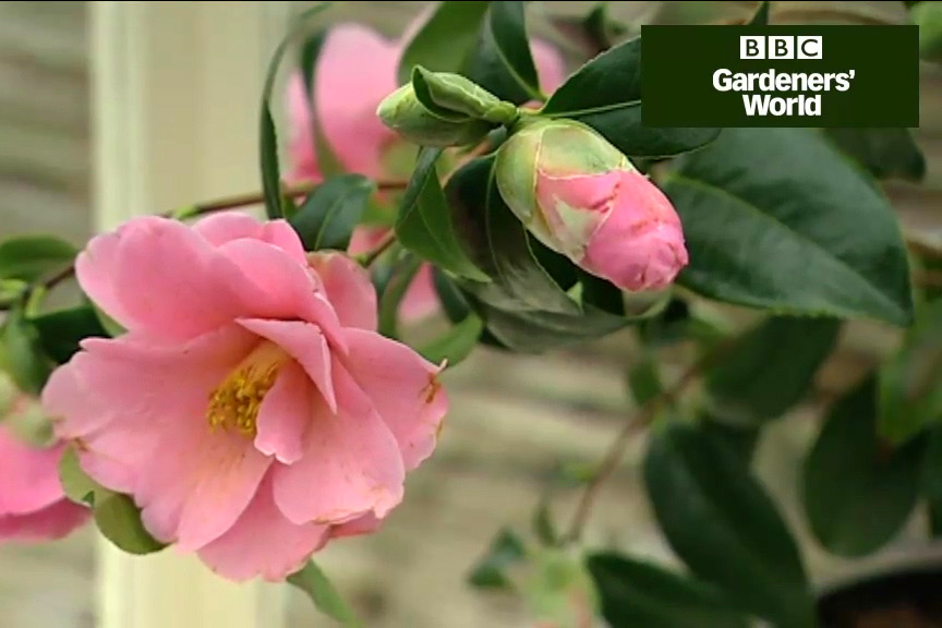 How to grow camellias video