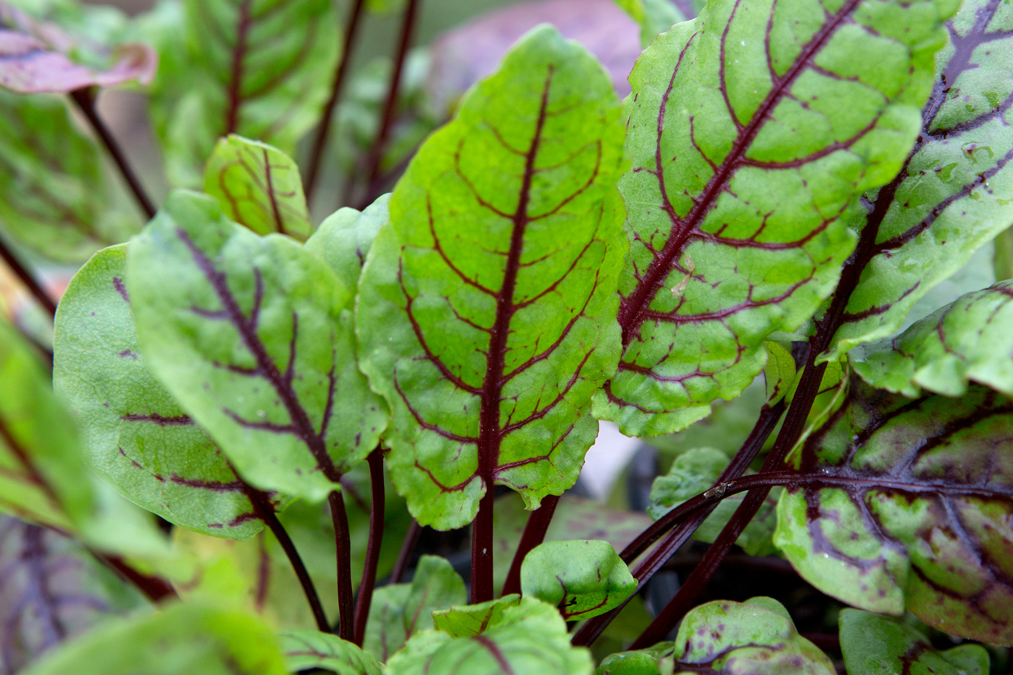 Sorrel leaves