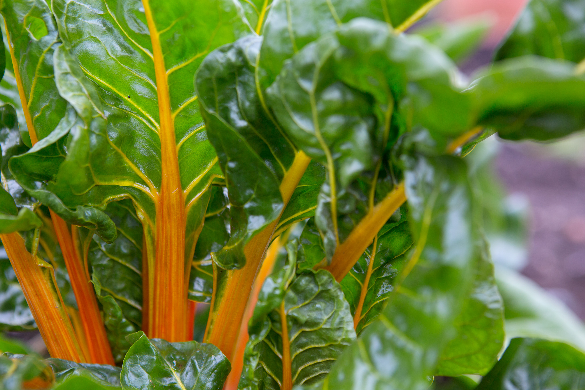 swiss-chard-ready-to-harvest-3