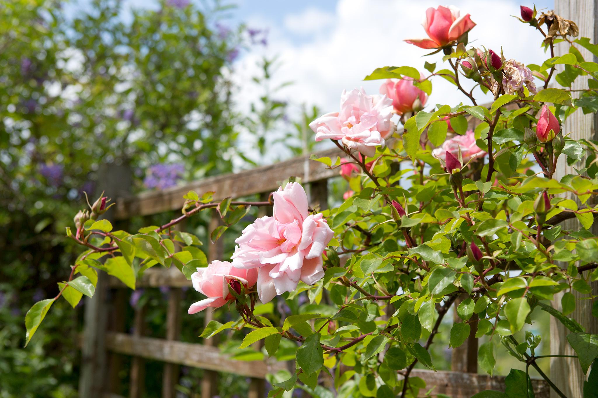rosa-albertine-3