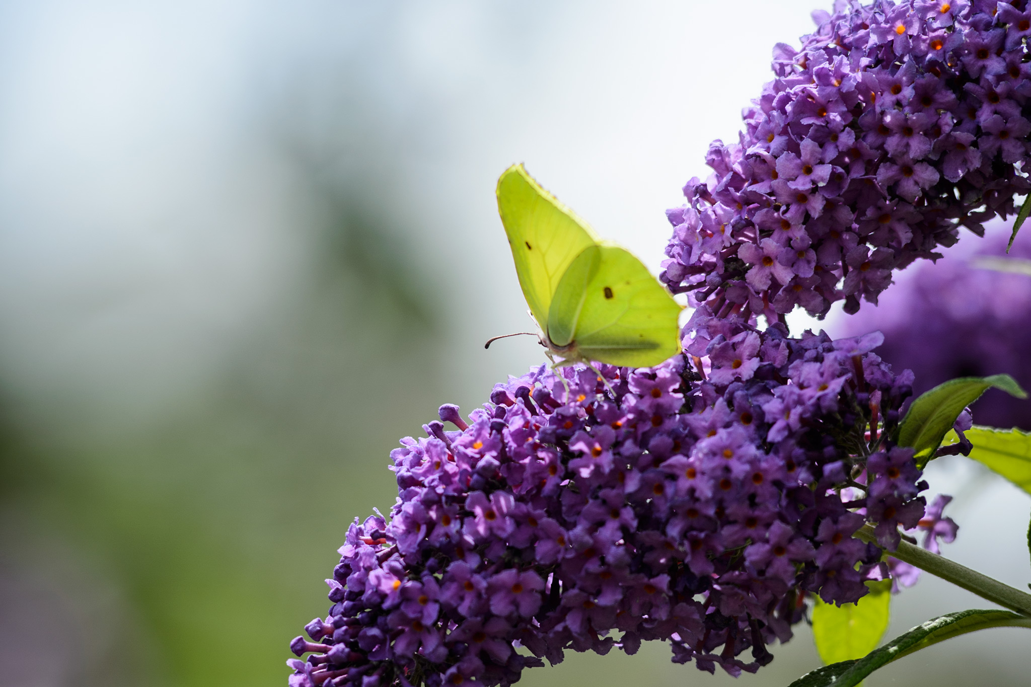 Plants for Late Summer Nectar